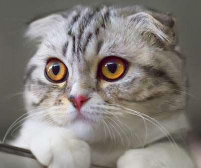 Scottish fold cats remind some people of furry owls.