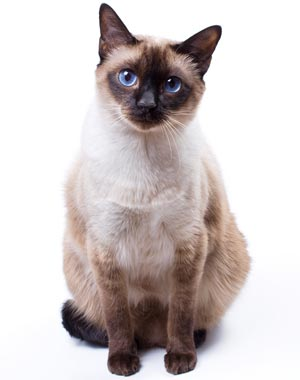 Siamese coat color is responsive to temperature.