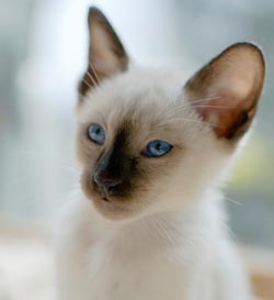 Siamese kittens are born lighter and their points darken.