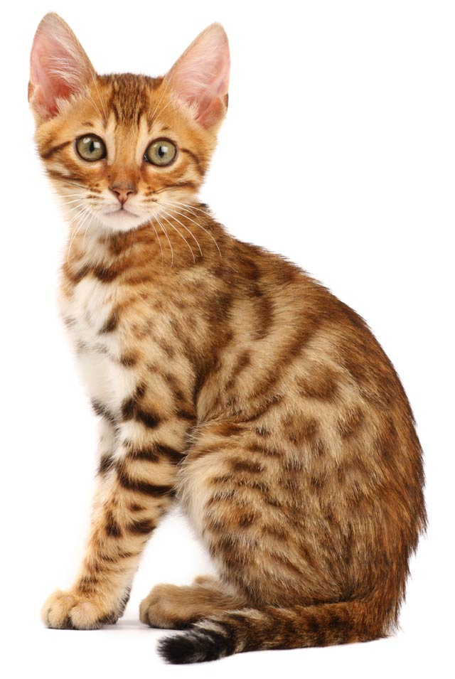 Bengal cat characteristics and information.