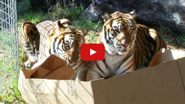big cats exploring and enjoying boxes, just like little cats do.