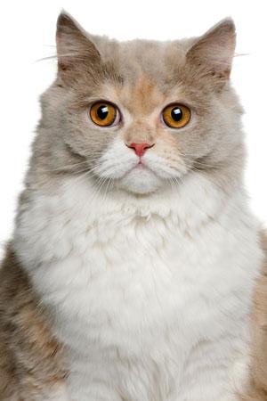 Feline Asthma Lower Airway Disease