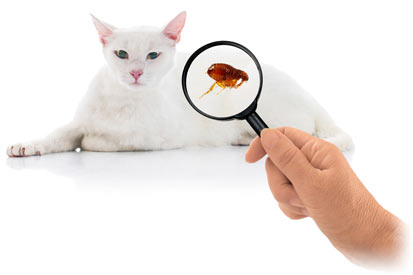 It's important to know how to find fleas on your cat.