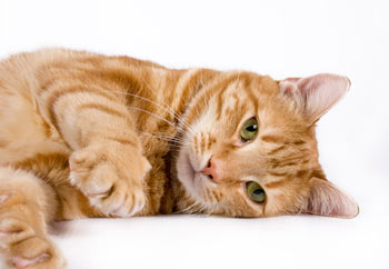 cat_orange_laying