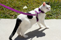 A harness is the safest way to walk a cat.