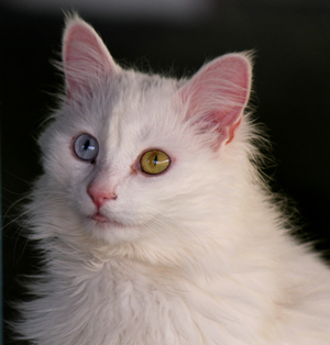 Why Do Some Cats Have Two Different Colored Eyes