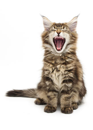 Why Cats Yawn