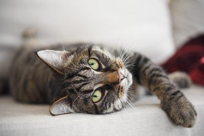 Est-il sécuritaire d'utiliser des huiles essentielles autour des chats?