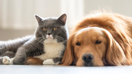 Find out some common cat breeds that are good with dogs.
