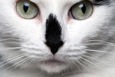 Corneal ulcers are sores in a cat's eyes.