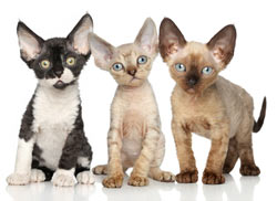 Devon rex kittens are definitely cute.