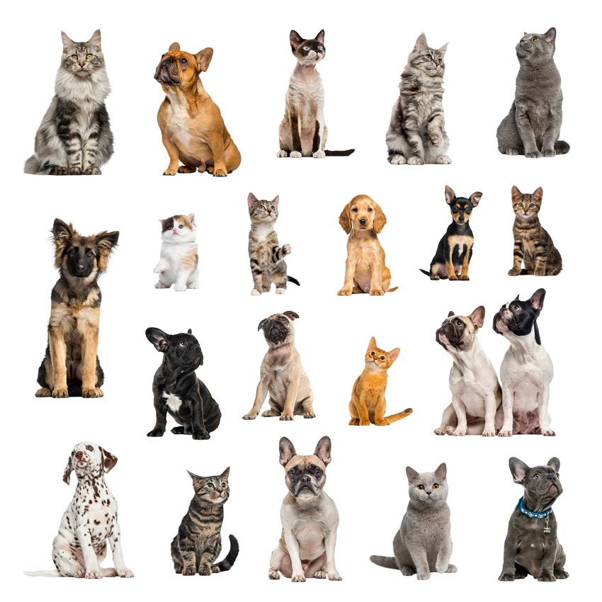 Learn why there are fewer big variations in cat breeds than in dogs.