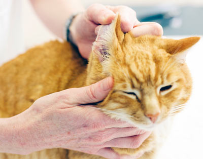 Ear hematomas are swollen ear flaps in cats.