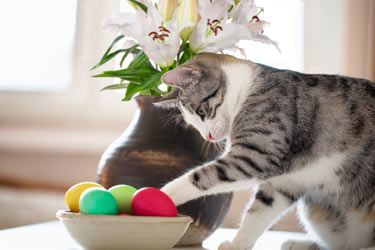 Easter lilies are extremely toxic to cats.