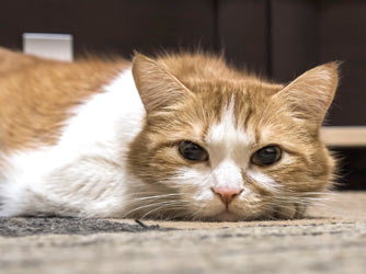 Overweight cats that lose weight too quickly are at risk for deadly fatty liver disease (hepatic lipidosis.