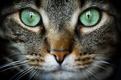 Learn basic first aid for feline eye injuries.