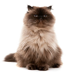 Himalayan cats are a long-haired version of Persians.