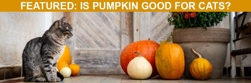 Featured Article: Is Pumpkin Good for Cats?