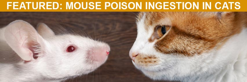 Featured Article: Mouse Poison Ingestion in Cats