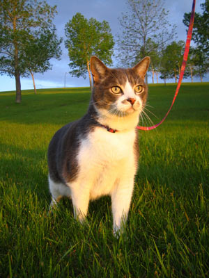 Cats can learn to walk on leashes.
