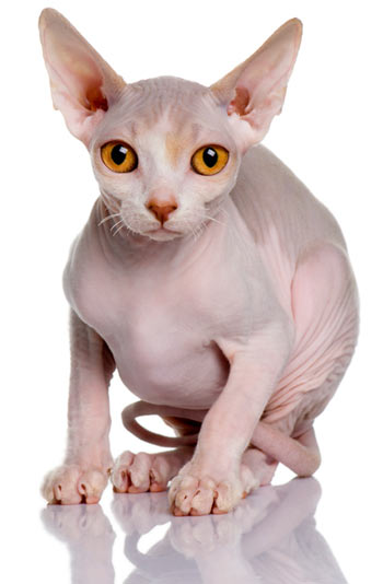 Sphynx cats are mostly hairless.