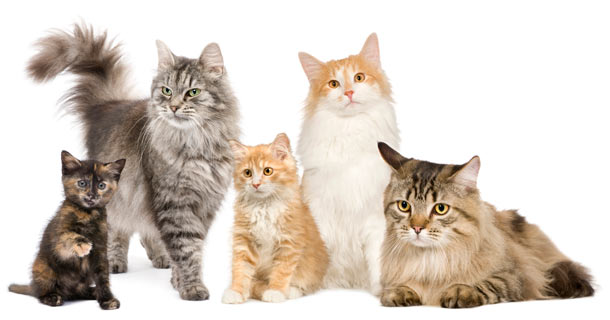 A list of the 10 most popular cat breeds.