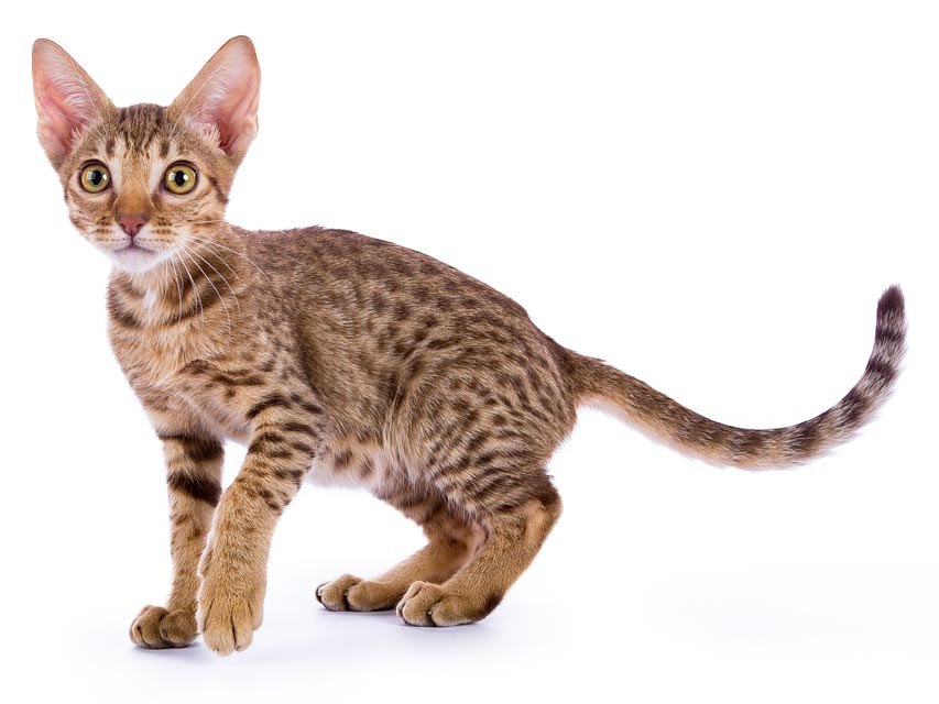 Learn about ocicats.