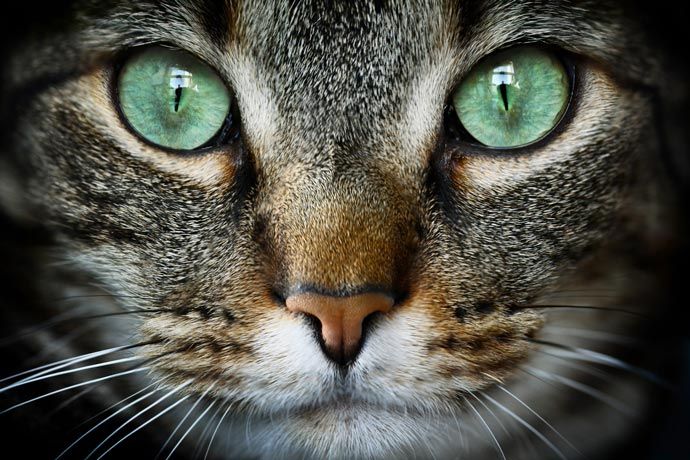 Learn the most common conditions that affect cats' eyes.