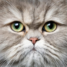 Persian cats are coveted for their beauty.