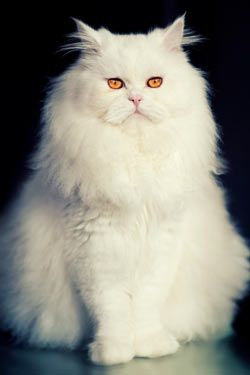 Persian cats are sweet and beautiful.