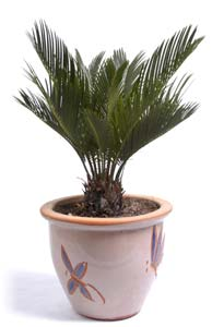 Sago palms are toxic to cats.