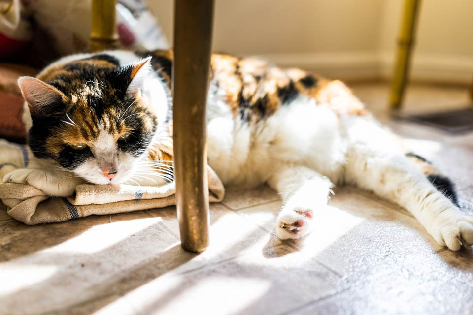 Cats may try to hide their arthritis pain.