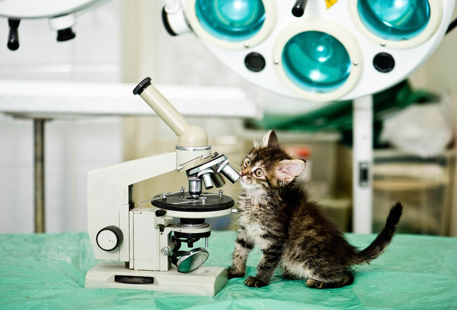 A skin cytology helps identify skin infections in cats.
