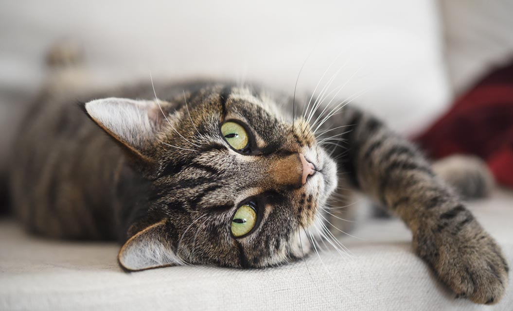 Soft Paws® can help protect your couch from scratches.