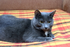 gray_cat_on_bed
