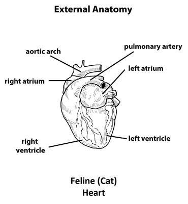 External_Feline_Anatomy_of_heart
