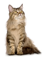 cat_main_coon_sitting