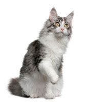cat_maincoon