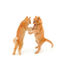kittens_playing