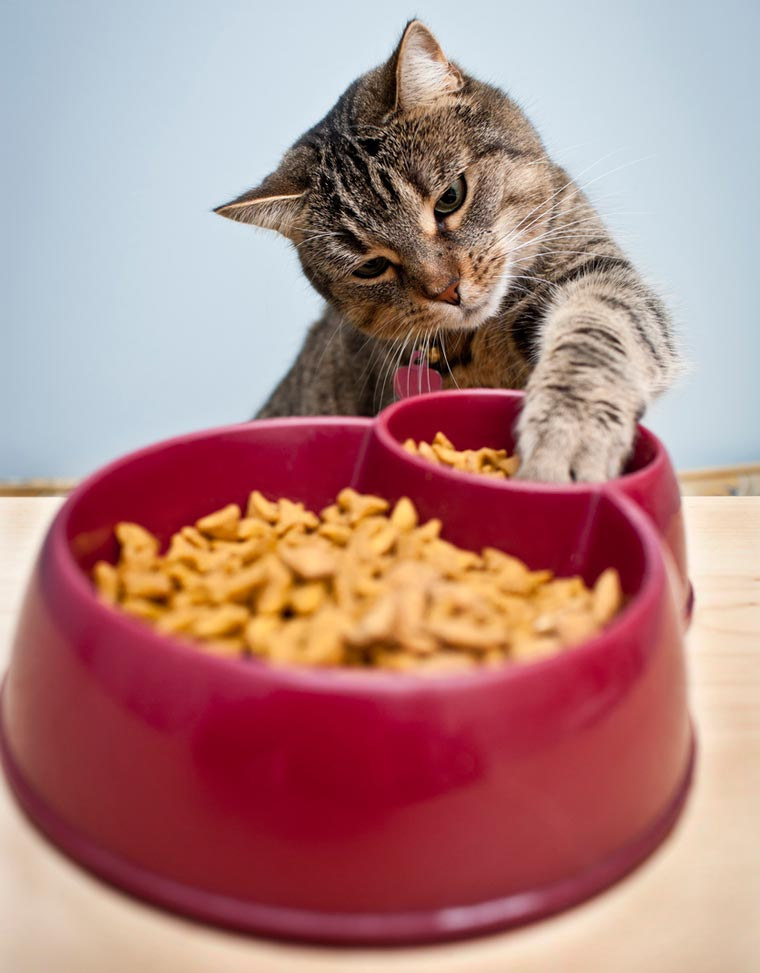 Why Do Some Cats Carry Food Out Of Their Bowls to Eat It?