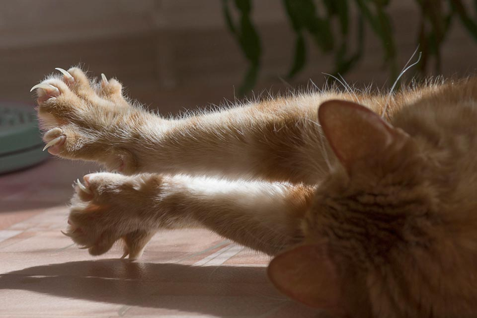 Learn why the outer layers of cats' claws shed.