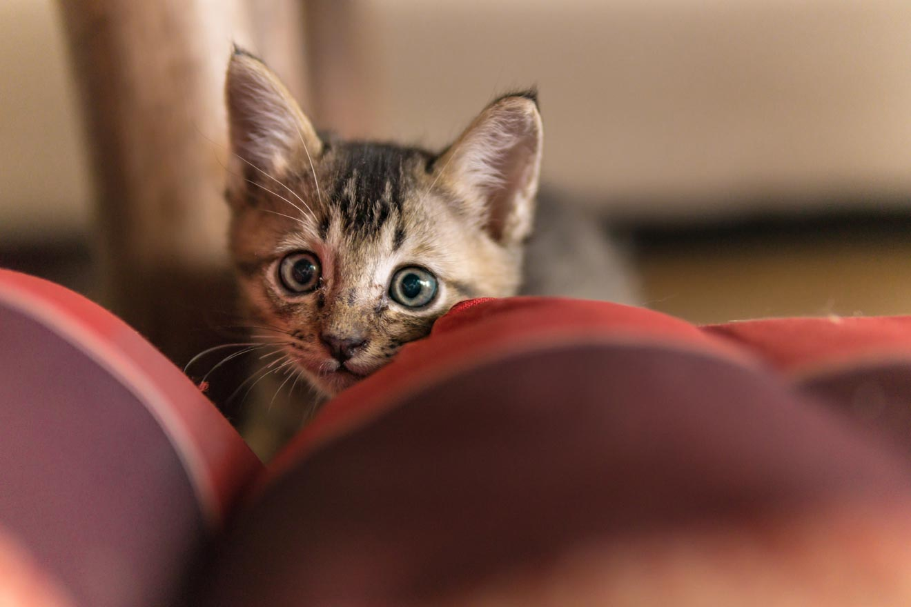 Learn why your cat might hide, pounce, and chase after you.