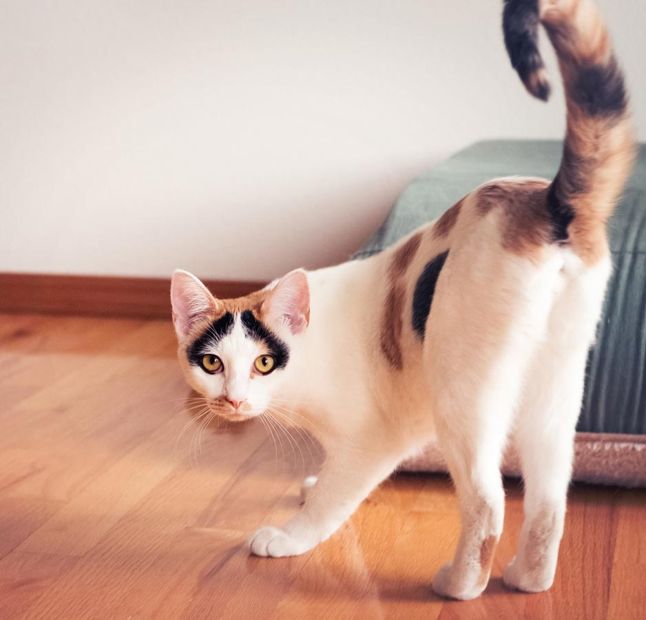 Learn why cats lift their tails and show you their bums.